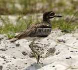 Water Thick-knee 1